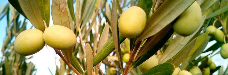 Historia y curiosidades del olivo