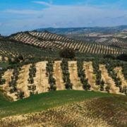 exportacion-aceite-oliva-espanol