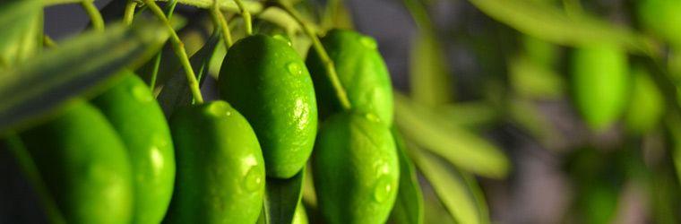 variedad-olivo-picual