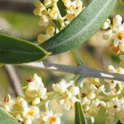 flor-olivo