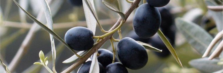 La poda de los olivos la mejor manera y poca para - Poda de hortensias epoca ...