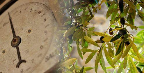 que cantidad de aceite da un olivo