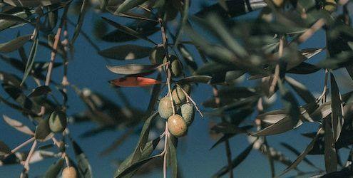 olivo es un tesoro milenario