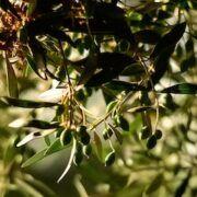 olivo mas antiguo del mundo