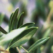 variedades de olivo