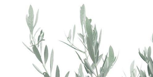 variedades olivo